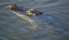 An american alligator pops its head up at the Six Mile Slough in Fort Myers.