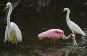 ff spoonbill and egrets again