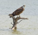 An osprey perches in a tidal lagoon at Tigertail Beach on Marco Island