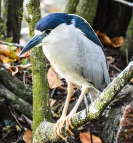 clack crowned night heron