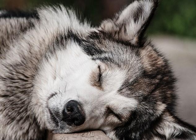 Sleep Husky