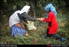 Gilan, Iran - Anbu, Pomegranate Harvest 2014 03