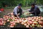 Gilan, Iran - Anbu, Pomegranate Harvest 2014 07