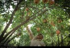 Kurdistan, Iran - Zhivar, Sarvabad, Pomegranate Harvest 2014 07