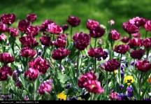 Razavi Khorasan, Iran - Mashhad, Bulbous Flowers Festival 01