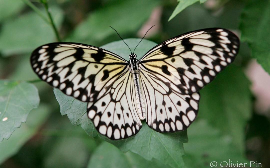 Majestueux papillon…