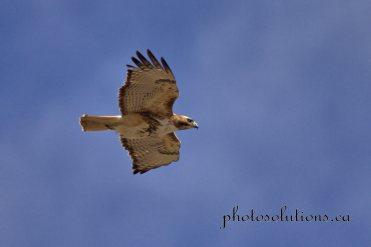 Hawk RR 40 near nest 3 cropped wm