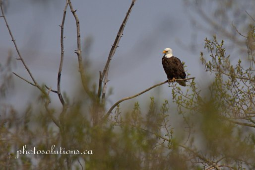 Bald Eagle Dad on watch as mom is fishing