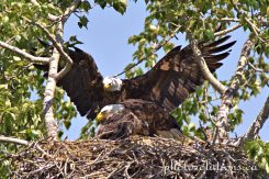 Bald Eagle dad bringing in lunch for mom and eaglet