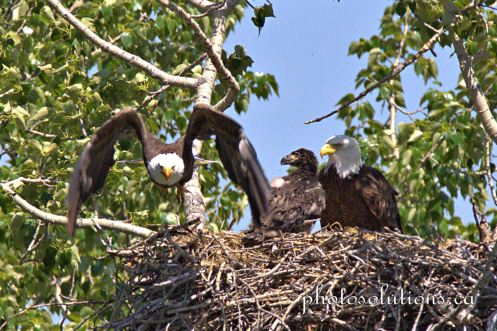 Bald Eagle Dad flies off