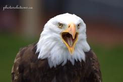 BOP Bald Eagle Call 2 cropped wm