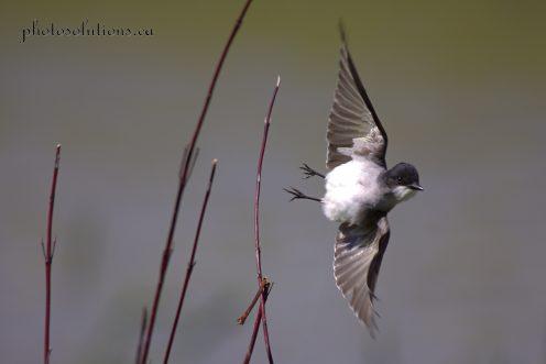Eastern Kingbird in flight cropped wm