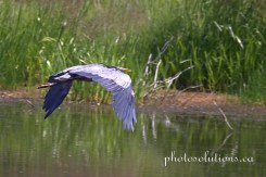 Blue Heron Lockend Rd in flight cropped wm