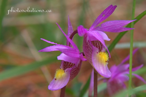Calypso Orchids cropped wm