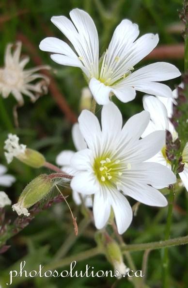 White wildflowers siblbald creek trail