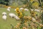Moutons et ajoncs en fleurs.