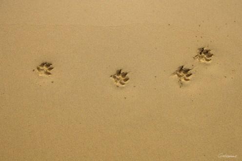 Traces sur la plage de Looping le chien.