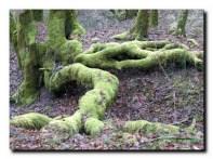 Lézard vert géant