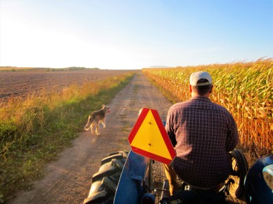 Bauer lenkt seinen alten Traktor entlang eines Maisfeldes auf der Ile the Orleans, Quebec, Kanada. September 2015 // Farmer is driving his old tractor along a corn field at the Ile the Orleans, Quebec, Canada. September 2015