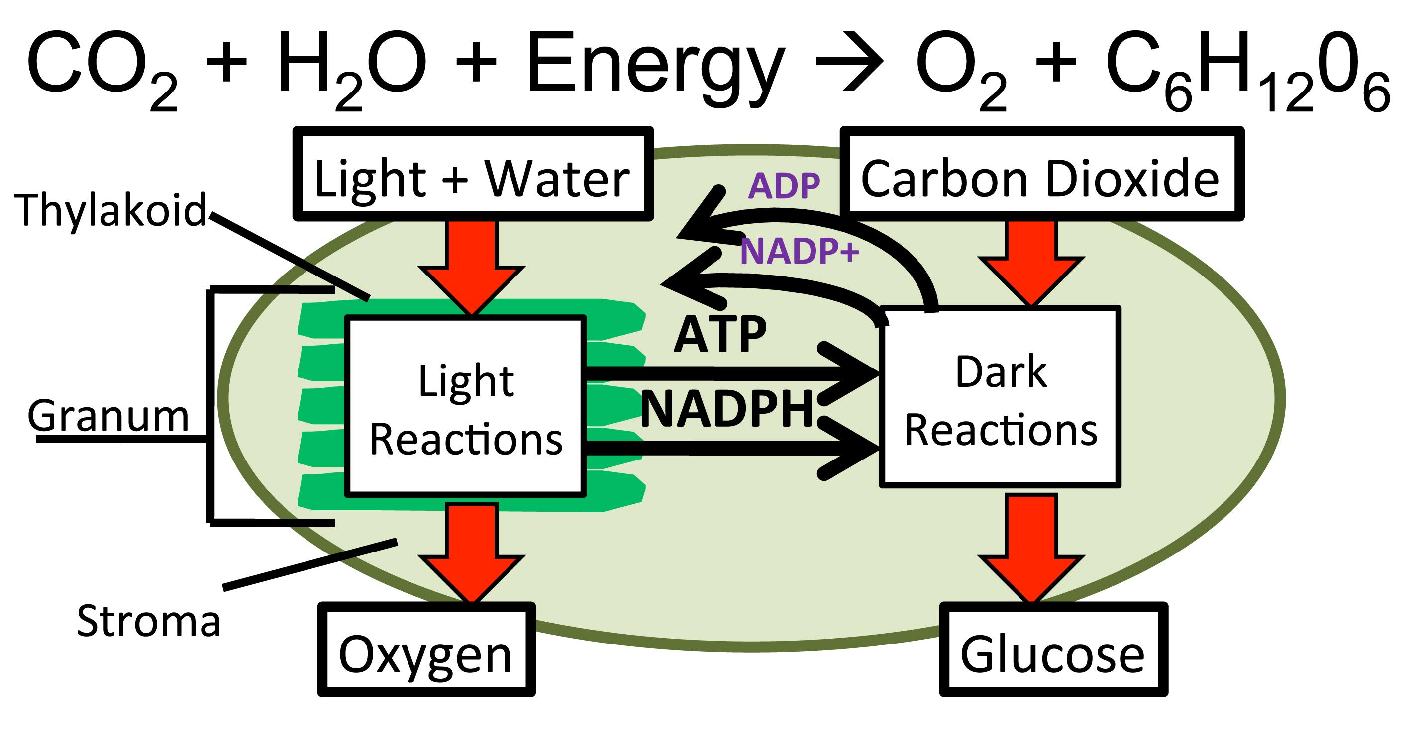 Dark Reactions Photosynthesisdaily
