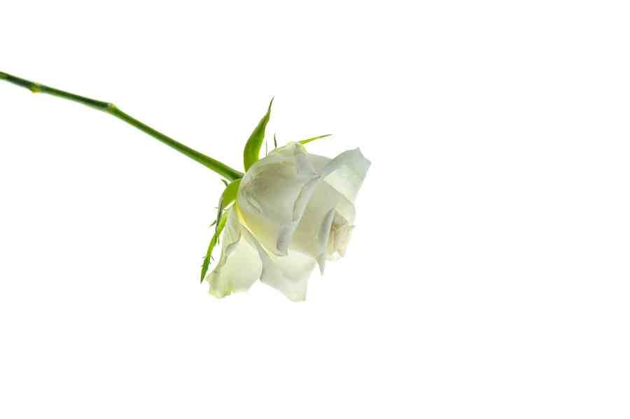 White-Rose-_DSC1240-817-2048-2.jpg