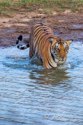 Tiger crossing the shallow water