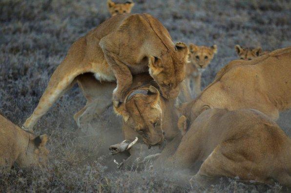 Chasse au phacochère par le groupe Vumbi, mené par une lionne portant un collier. Parc national du Serengeti, Tanzanie, 2011 © Michael Nicols/National Geographic Creative