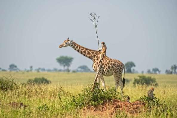 Comedy Wildlife - Dirk Jan Steehouwer - Monkey Riding A Giraffe