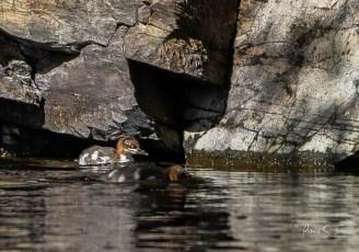 Goosander ducklings