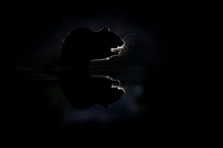 Bruine-Rat-VD_JSL7268-2
