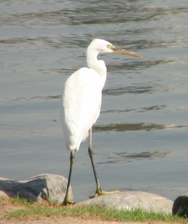 Western reef egret or little egret??? The beak is not fully black but yellow toes on black feet are present