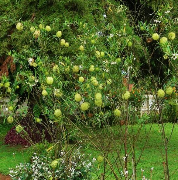 Hairy balls milkweed