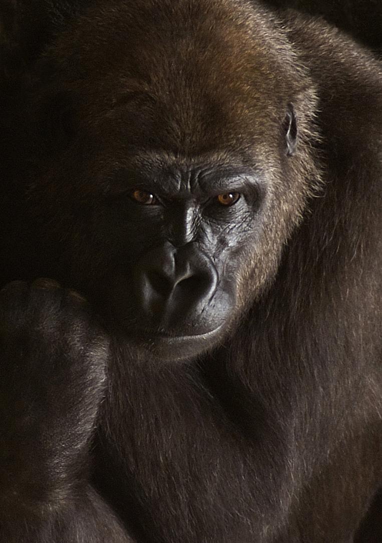 Goril·la 5