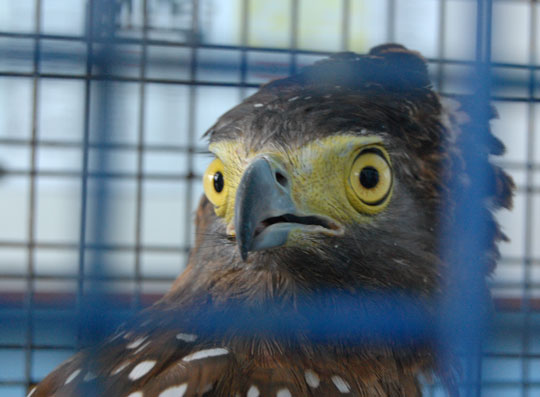 A Philippine Serpent Eagle, rescued by local residents and turned over to Covanta (Phils) for treatment and rehabilitation. The plan is to release the eagle back to the wild as soon as it recovers from its wound. The company has documented several wild animals that they have saved from harm and nursed them back to health.