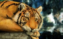 paintings-nature-animals-digital-tigers-photography