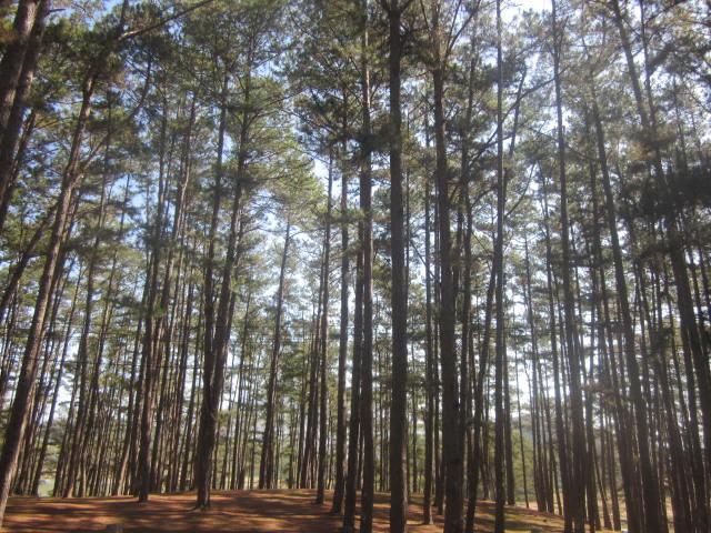 dăm bào thông pine ép khối