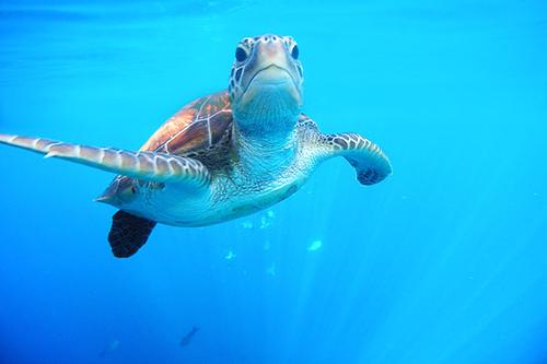 sea turtle in Thailand