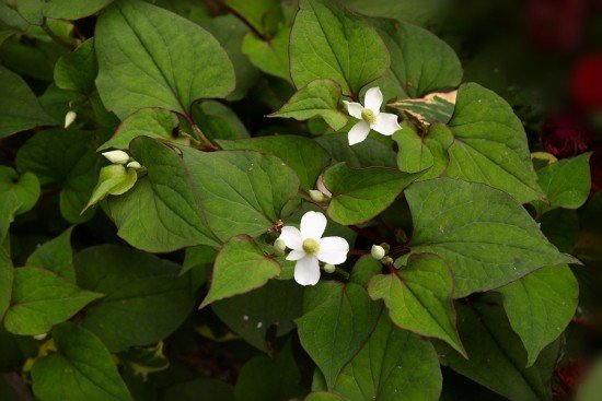 Houttuynia cordata known in Japan as Dokudami and Kaeruppa