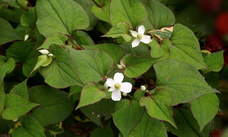 Houttuynia Cordata used in herbal spa products