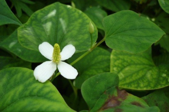 Houttuynia Cordata used to treat SARS in China