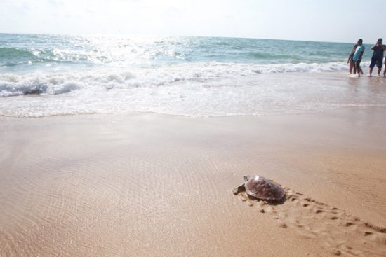 The 7th Mai Khao Marine Turtle Release Ceremony on Songkran Day at JW Marriott Phuket Resort and Spa
