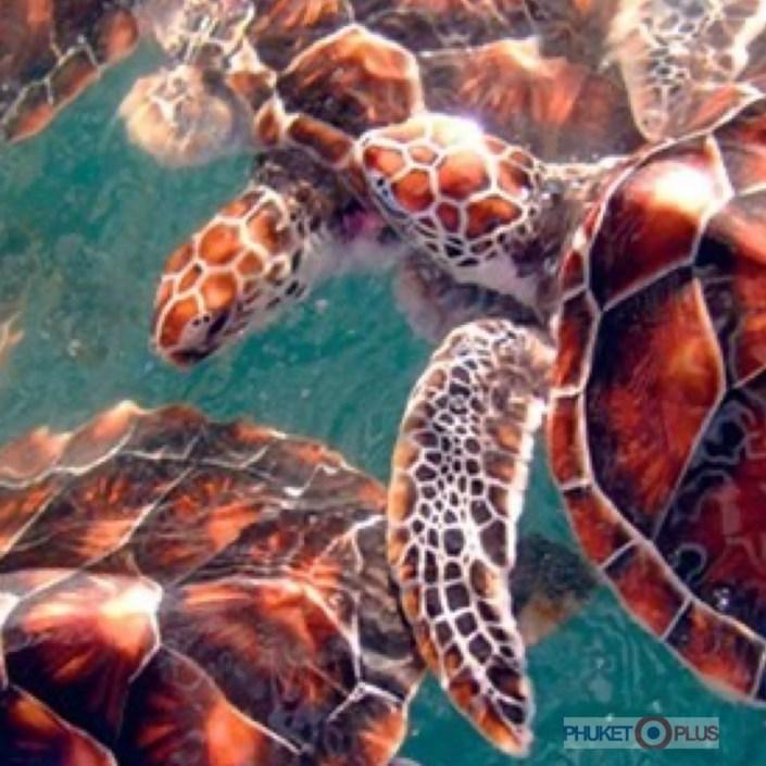 где посмотреть черепах на пхукете