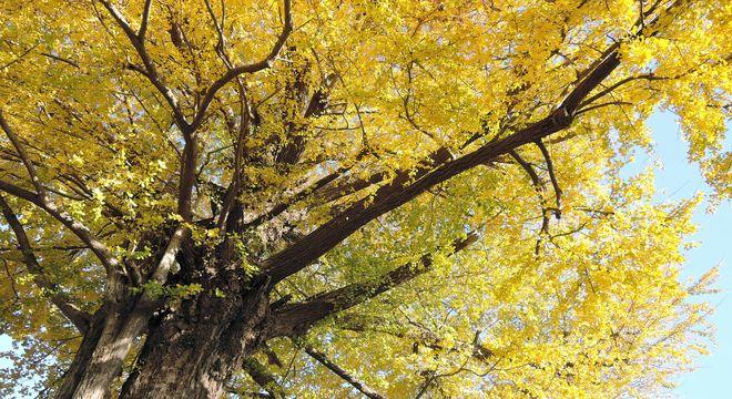 イチョウの古木