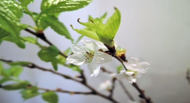 啓翁桜の開花時期