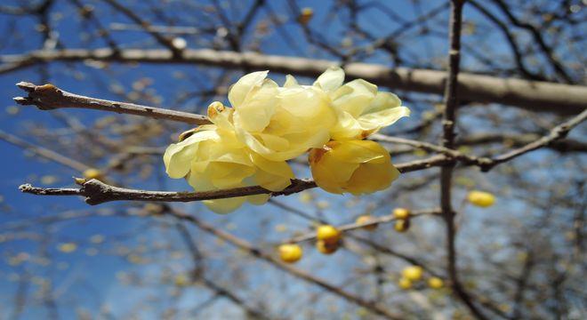 実生蝋梅の花