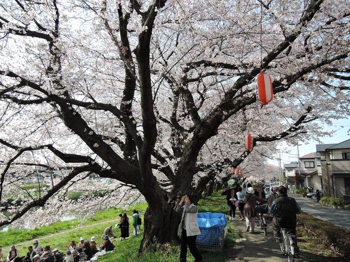 越谷市の桜名所