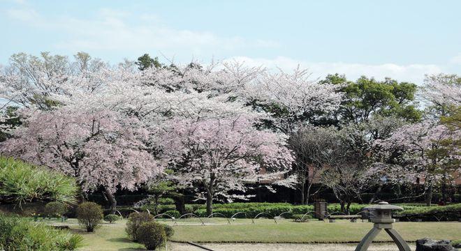 桜(染井吉野)