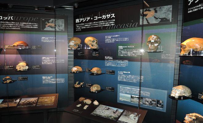 展示コーナー 人類の進化