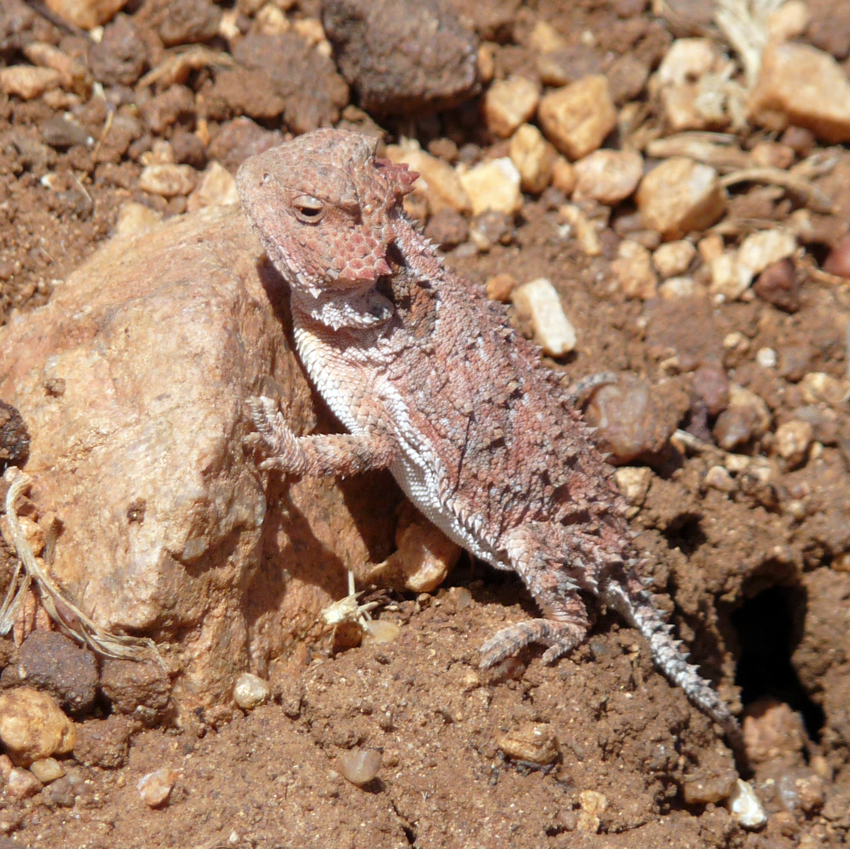 "The Local lizzard ""Horney Toad"""