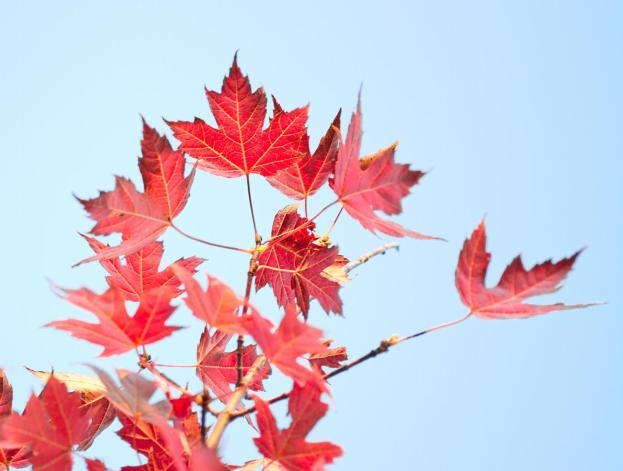 maple leaf3